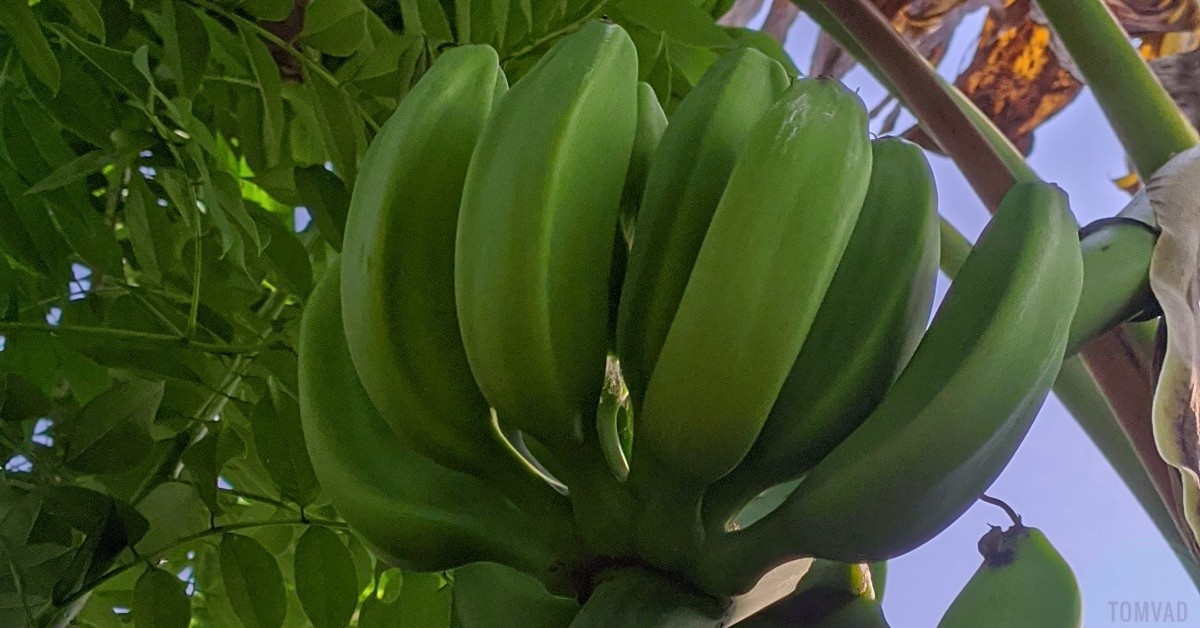 health benefits of unripe plantain