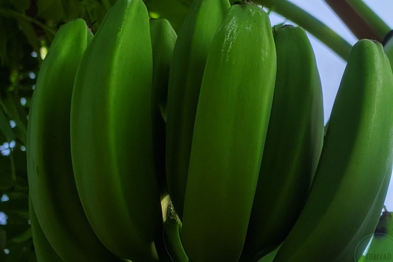 health benefits of unripe plantain tomvad