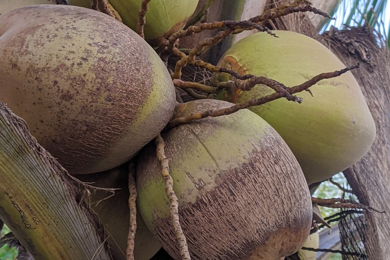 Coconut fruits